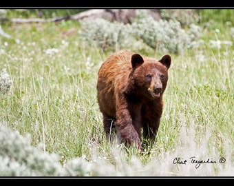 Grizzly Bear, Nature Photography