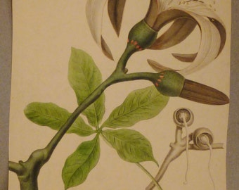 Antique Botanical Print from  1900s CAROLINA ALBA Whitw wild Rose Chromolithograph colorful aprox. 12 x 9