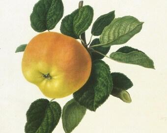 Vintage Fruit Print - Apple Print - Blenheim Orange Pippin Apple - Hookers Finest Fruits - Vintage Kitchen Wall Art - William Hooker - 1800