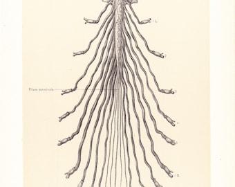 1899 Human Anatomy Print - Cauda Equina - Vintage Antique Medical Anatomy Art Illustration for Doctor Hospital Office