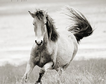 Wild Horse Photography, Wild Horse on Carrot Island Running with tail whipping in the wind, Black and white horse photography