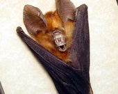 Real Framed Taxidermy Orange Hanging Rhinolophus Lepidus Refulgens Vampire Bat Shadowbox Display B1327