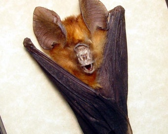 Black Friday/Cyber Monday Sale Real Framed Taxidermy Orange Hanging Rhinolophus Lepidus Refulgens Vampire Bat  B1327