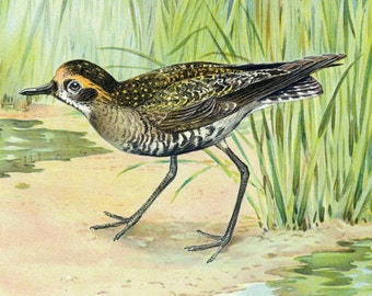 1900 Rare Chromolithograph of the American Golden Plover