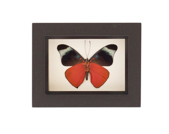 Real Butterfly Shadowbox Red Flasher Framed Insect
