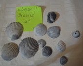 11 Seashell Fossils Natural Specimens Seashells Beach Find Sea Shells