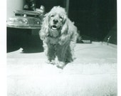 Happy Cocker Spaniel Puppy Dog Smile at Camera on Porch Outside Sun 1950s Vintage Black and White Photo Photograph