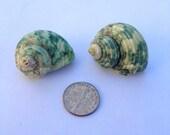 Set of 2 medium Sea Snail Shells for Hermit Crabs