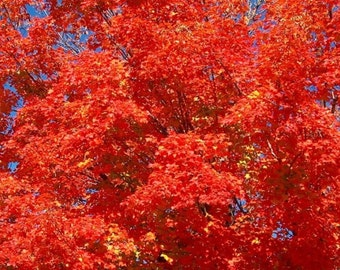 18-24 inches Rooted RED MAPLE SAPLING - Well Established Root System, Beautiful Red Fall Foliage