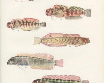 Molly Miller, Ring-Necked Blenny, Cloister Blenny, Arabian Blenny, Vintage Fish Print 76, 1951, Margaret Smith, Ichthyology, Natural History