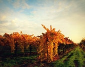 November Vineyard II Photograph - fall autumn wine country orange yellow green grapevine warm art print home decor photo photography