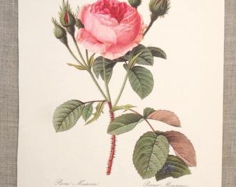 Vintage Botanical Illustration Print, Pink Roses, Flowers, Unframed, Wall Decor, Art Supplies, Paper Ephemera, Floral, Large, Garden Plant