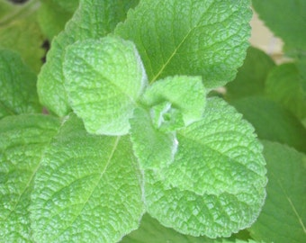 GARDEN SPEARMINT   Whipped Body Parfait Natural Blendings Most Popular Product in a Brand New Fragrance Made to Order 8 OZ Jar