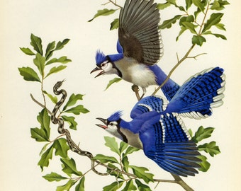 Vintage Birds by Athos Menaboni of Blue Jay Book Plate SALE Buy 3, get 1 free