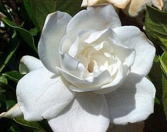 Gardenia Body Scrub Sugar or Sea Salt Body Polish 8 oz Jar ~ Gardenia Flower Scented