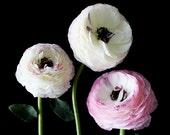 Three Ranunculus II