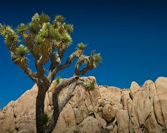 Joshua Tree in Joshua Tree National Park in California No.324 - A Desert Landscape Photograph