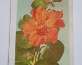 Vintage 1960s Orange Climbing Nasturtium Flowers Book Sweet Photo