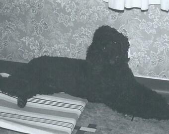 Vintage Photograph Photo Snapshot Pure Bred Black Standard Poodle Dog On Dog bed Wallpaper
