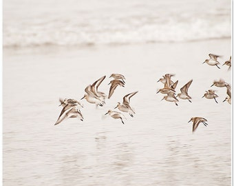 Oregon coast photo, sanderlings, birds in flight, beach photography, nature decor