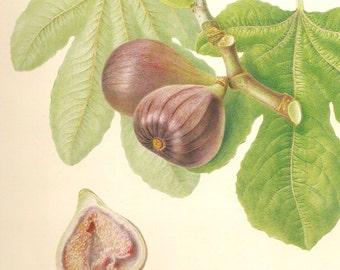 Vintage Botanical Fruit Print- Blue Fig- Regency Antique Repro- 9 x 12 inch