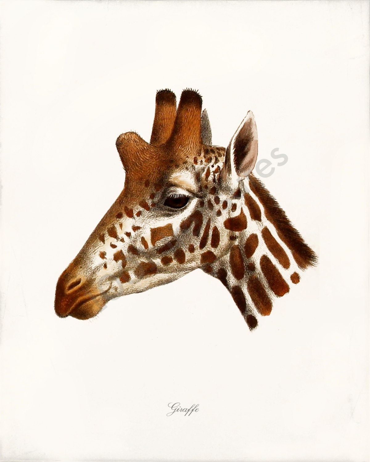 Antique Giraffe Art Print Giraffe A Home Decor Wall Art