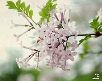 Cream Pink lilacs, Lilacs photo, Nature photography, Soft pastels, Spring impressions, Flower print, Dining room wall art