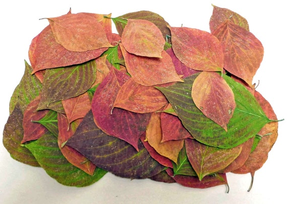 Pink and Green Leaves, ,  Qty. of 100,  Real Pressed Leaves,  Crafts