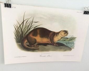 Canada Otter Vintage Audubon Book Plate