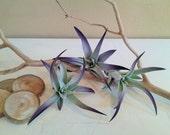 TREASURY ITEM - 3 pack Plagiotropica air plant - purple air plant - Wedding favors -  Diy projects - Terrariums - Moss - Color air plant