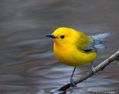 Prothonotary Warbler - Nassawango Creek
