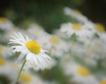 8x10 Flower Photography,White Daisy Picture, Gray and Yellow Photograph, Garden Print, Floral Wall Art