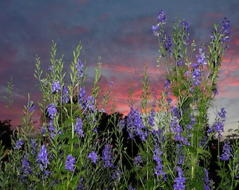 Photograph of Purple flowers in the pink sunset.