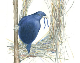 A4 Print of a Male Satin Bowerbird