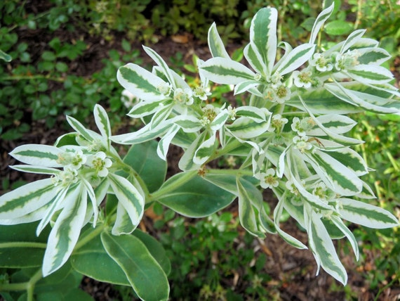 Heriloom 100 Seeds Euphorbia Marginata Snow on the mountain flower bulk seed B0060