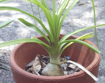 Ponytail Palm Beaucarnea Recurvata  - Well Rooted Succulent Organic Plant