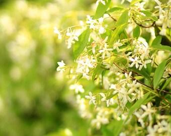 Star Jasmine - Flower Photo Print - Size 8x10, 5x7, or 4x6