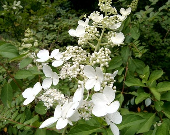 Pee Gee Hydrangea Chantilly Lace Deiduous White Blooming Shrub starter plant