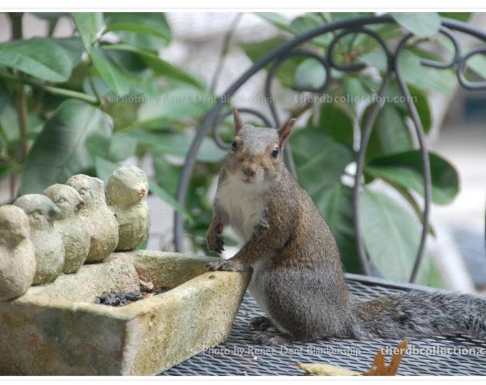 Gray Squirrel Photograph