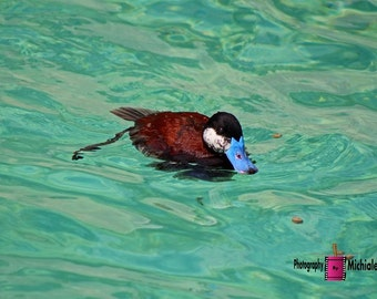 North American Ruddy Duck I (FREE SHIPPING in the U.S.only)--customized card, print or canvas