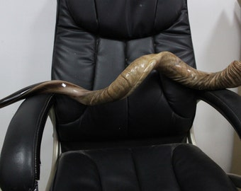 "43""- 45- full- natural- Triple- twist- curl- yemenite- kudu - shofar"