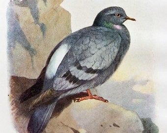 Rock dove - Antique Bird Print - Vintage Bird Illustration - Bird Print