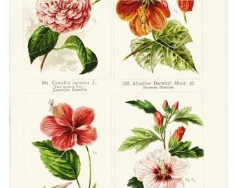 Antique Botaical Flower Print – Camellia Japonica - original Print
