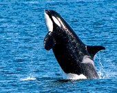 Orca Whale Photo, Killer Whale Image, Breaching Whale, Washington State Image
