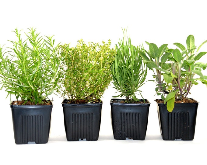 Herbs de Provence Herb Plants Collection Grown Organic Contains Set of 4 Live Plants