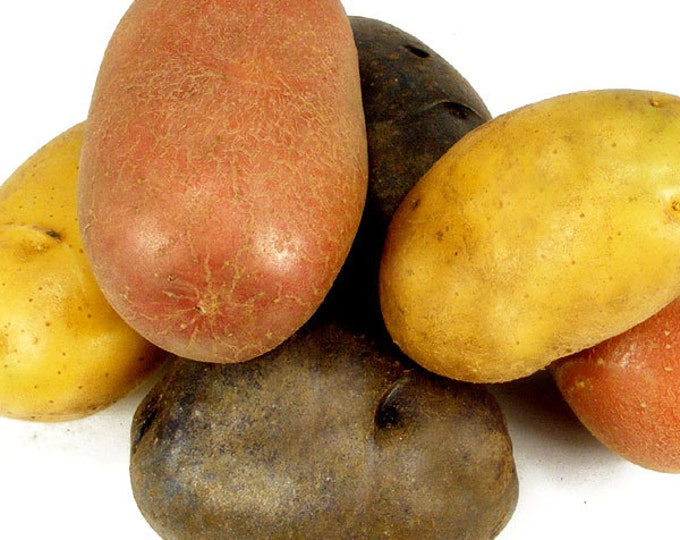 Red White Blue Seed Potatoes Mix 5 Lbs. Certified Organic Potato Collection Spring Shipping Non-GMO