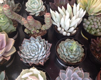 This is a 6 Perfect amount of succulents to start your first garden, beautiful and hardy plants.