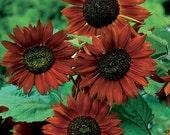 50 - Heirloom Sunflower Seeds - Velvet Queen - Heirloom Flower Seed, Non-GMO Sunflower Seed - Velvet Queen Sunflower, Non-gmo Sunflower Seed