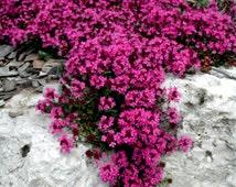 500 - Bulk Creeping Thyme Seeds - Scarlet - Heirloom Thyme Seeds, Non-GMO Flower Seeds, Bulk Flower Seeds, Heirloom Groundcover Seeds
