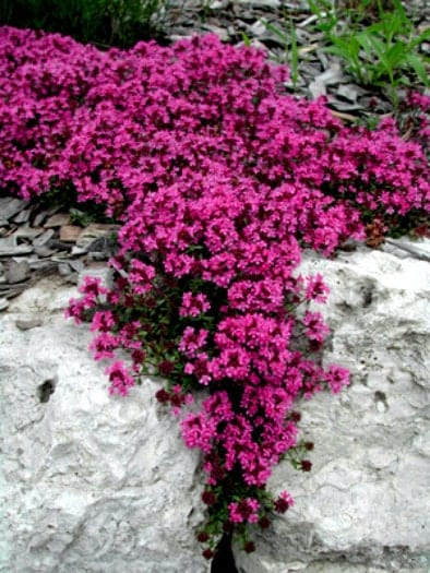german winter thyme how to grow from seed
